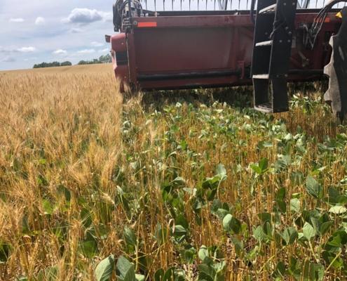 relay crop wheat