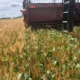 relay crop wheat