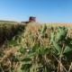 relay rye crop